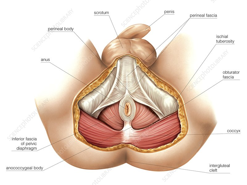 Muscles Of Perineum Stock Image C0200444 Science Photo Library