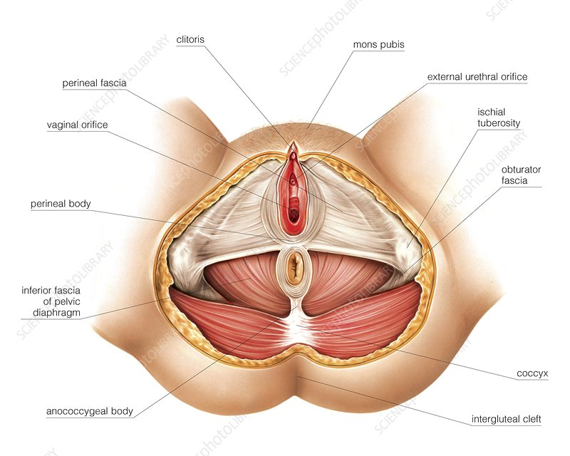 Muscles of perineum