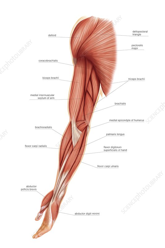 Muscles of upper limb