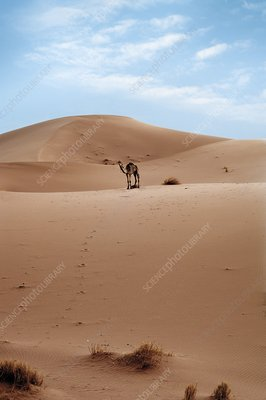 Desert sand dune and camel
