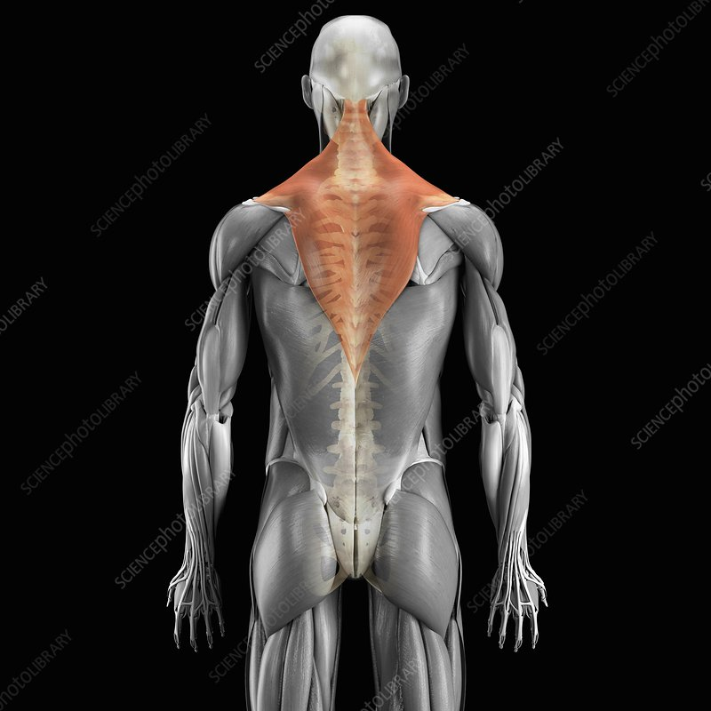 Trapezius Muscle with Skeleton, artwork