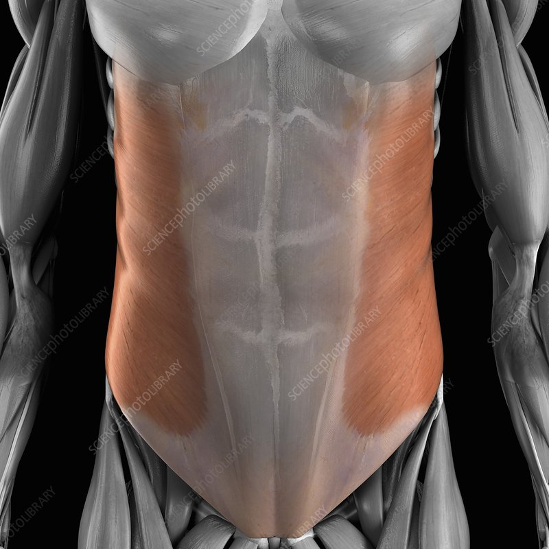 External Oblique Muscle, artwork