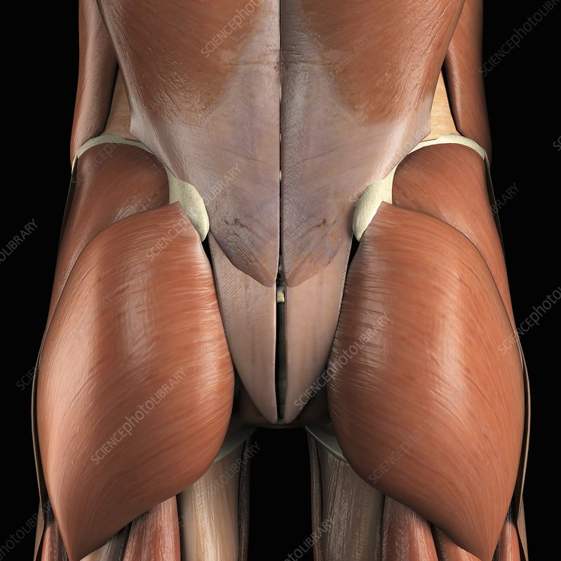 Muscles of Lower Back and Buttocks