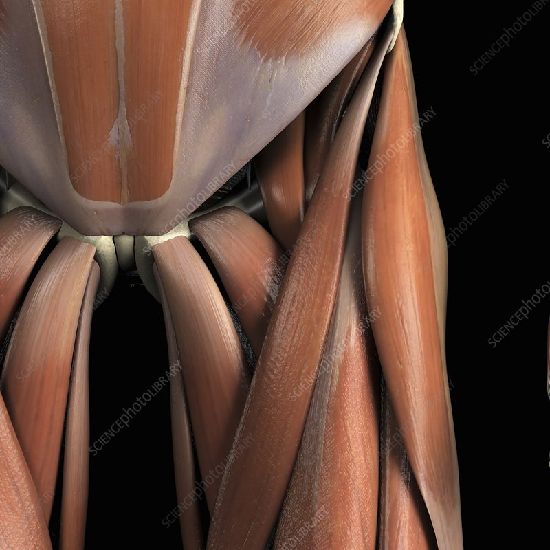 Muscles of the Groin, artwork