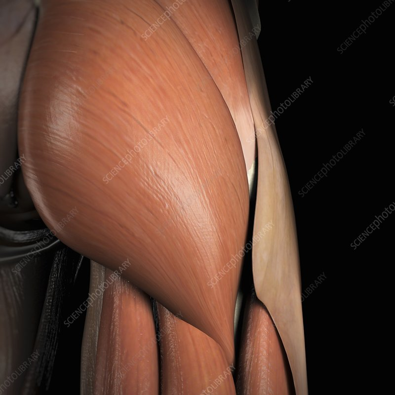 Muscles of the Buttocks, artwork