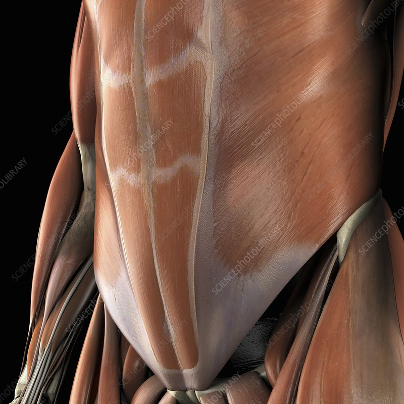 Muscles of the Abdomen, artwork