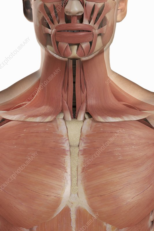The Muscles of the Upper Chest and Neck