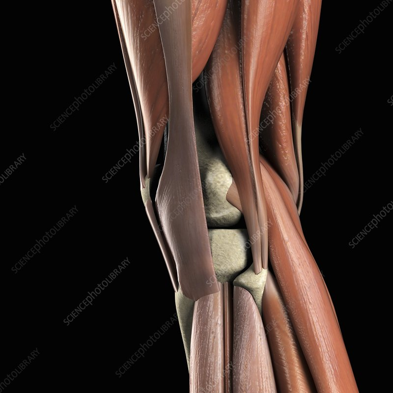 Muscles of the Knee, artwork