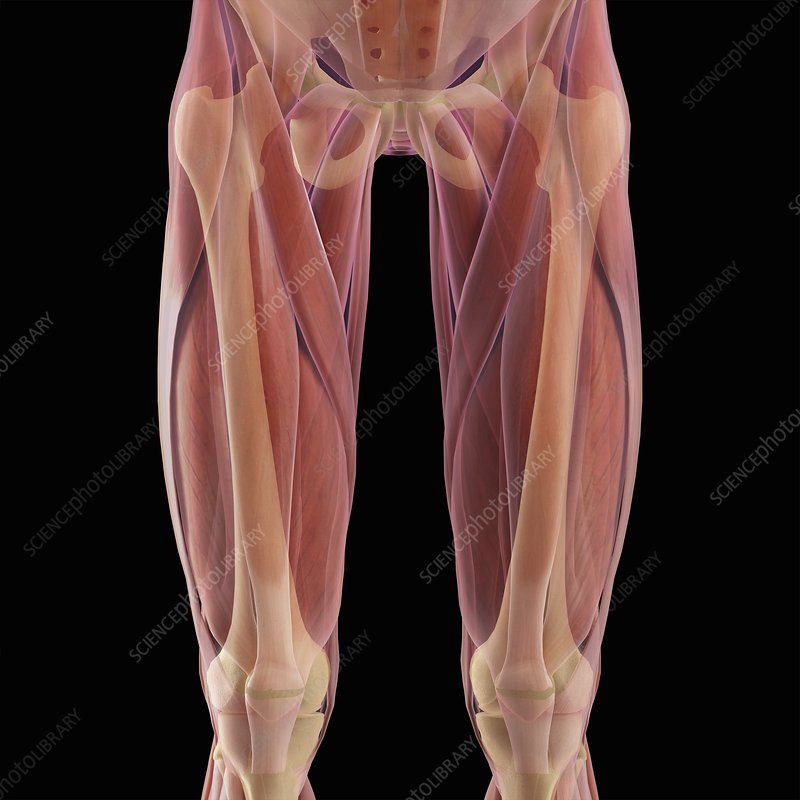 Musculoskeletal System of Upper Legs - Stock Image C020/2481 ...
