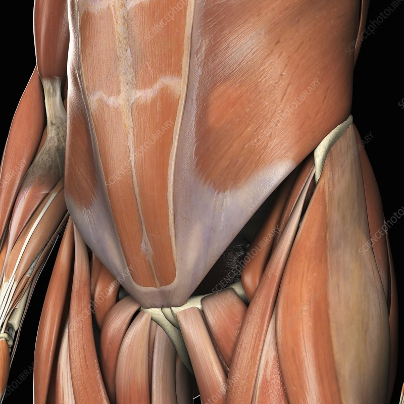 Muscles of the Lower Abdomen, artwork