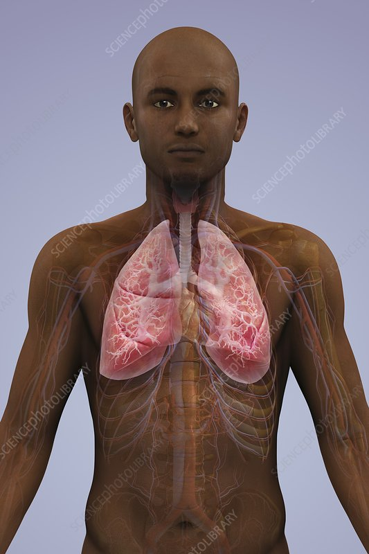 The Lungs and Cardiovascular System