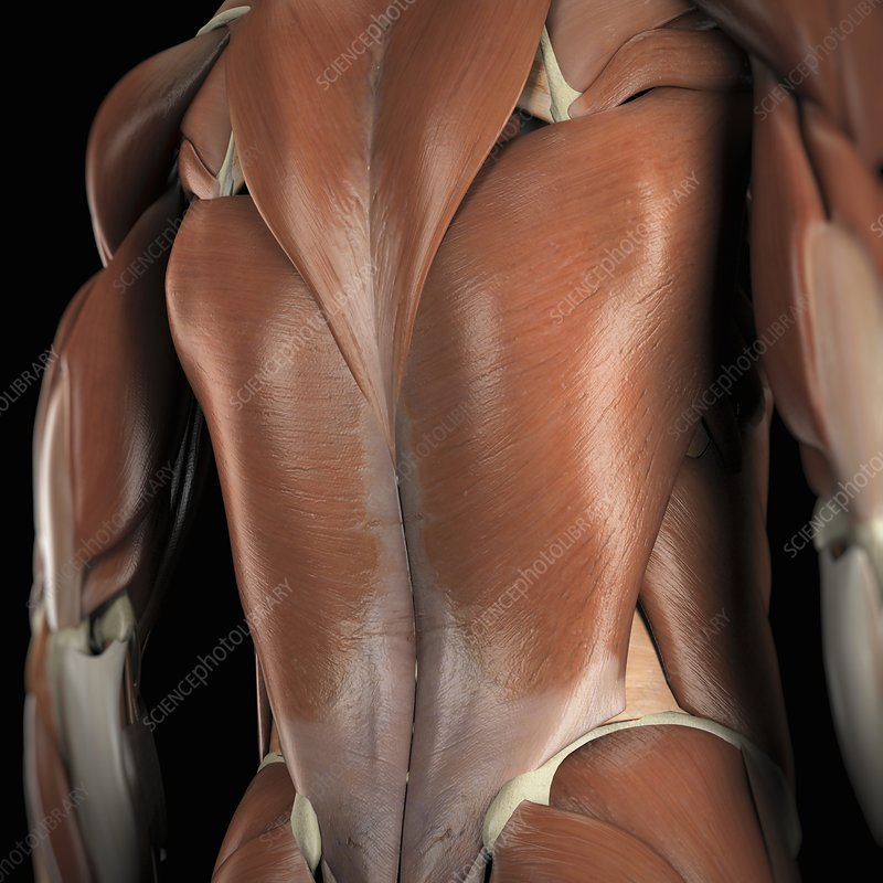 Muscles of the Back, artwork