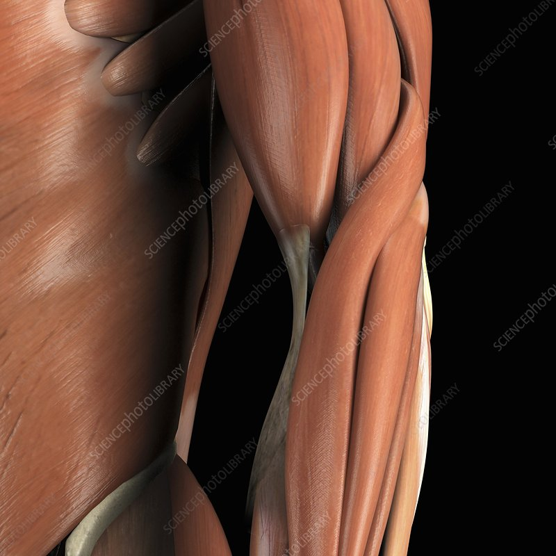 Muscles of the Arm, artwork