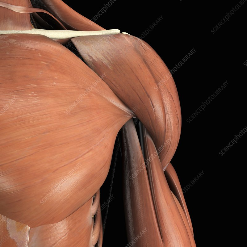 Muscles of the Shoulder, artwork