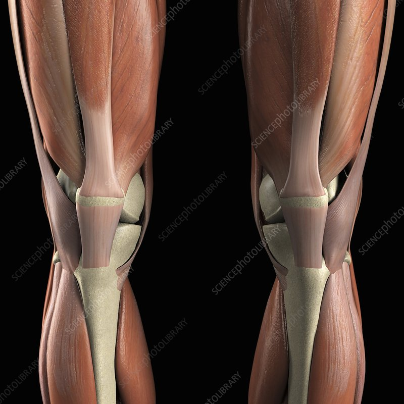 Muscles of the Knees, artwork