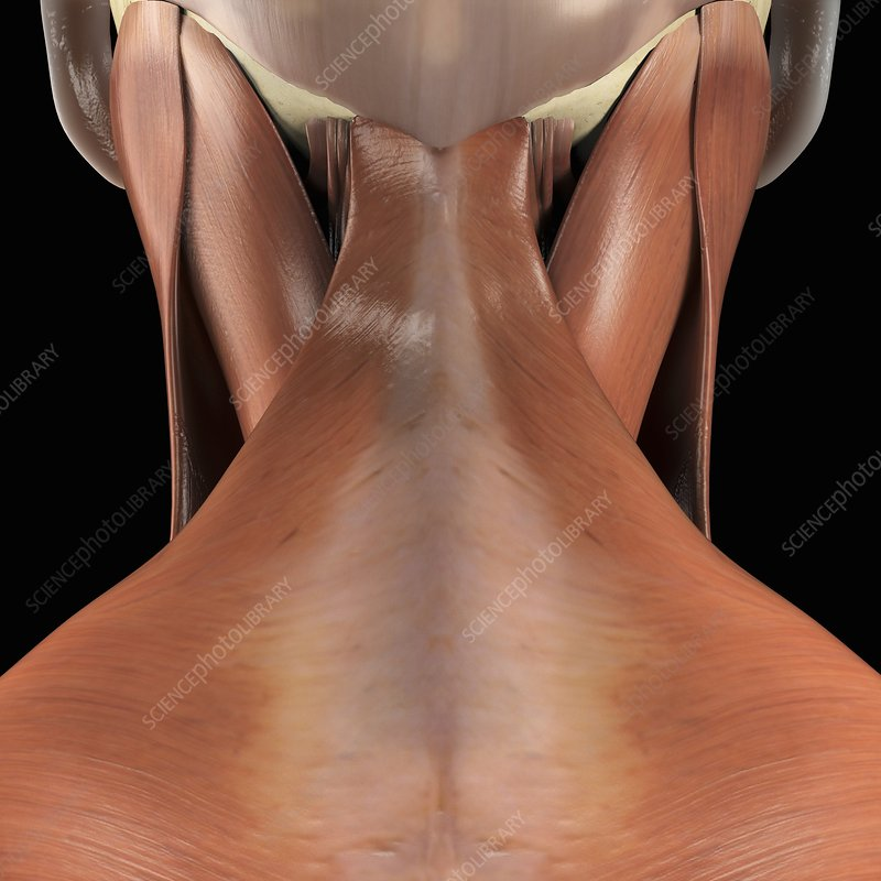 Muscles of the Neck, artwork