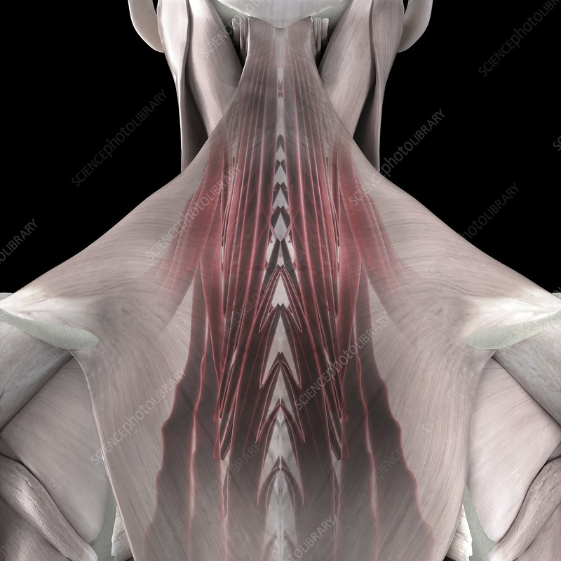 The Deep Muscles of the Back, artwork