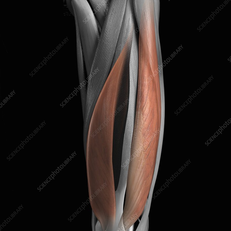 Vastus Medialis and Lateralis Muscles