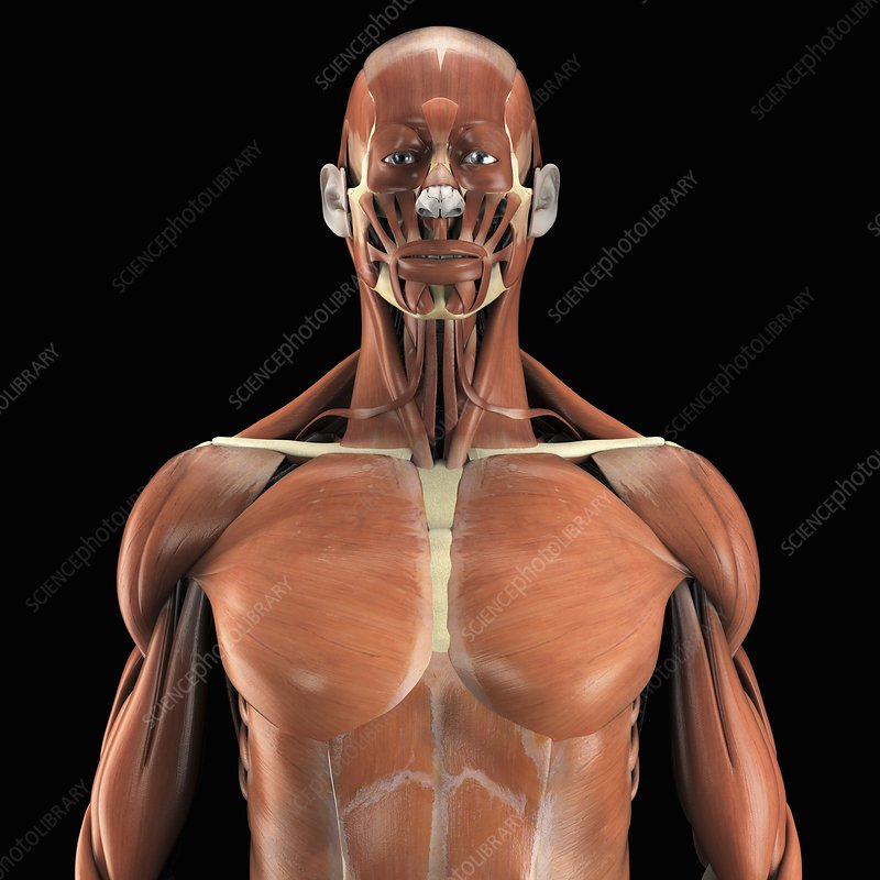 Muscles Of The Upper Body Artwork Stock Image C0202749