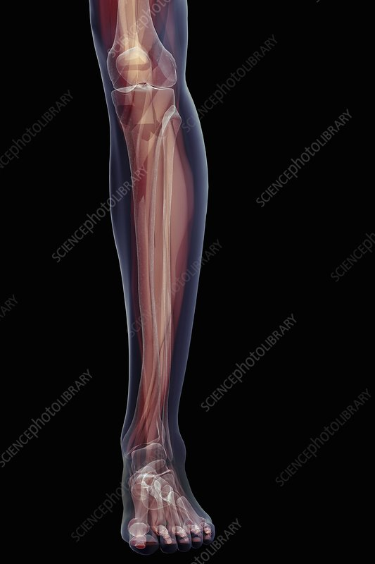 Musculoskeletal System of Lower Leg