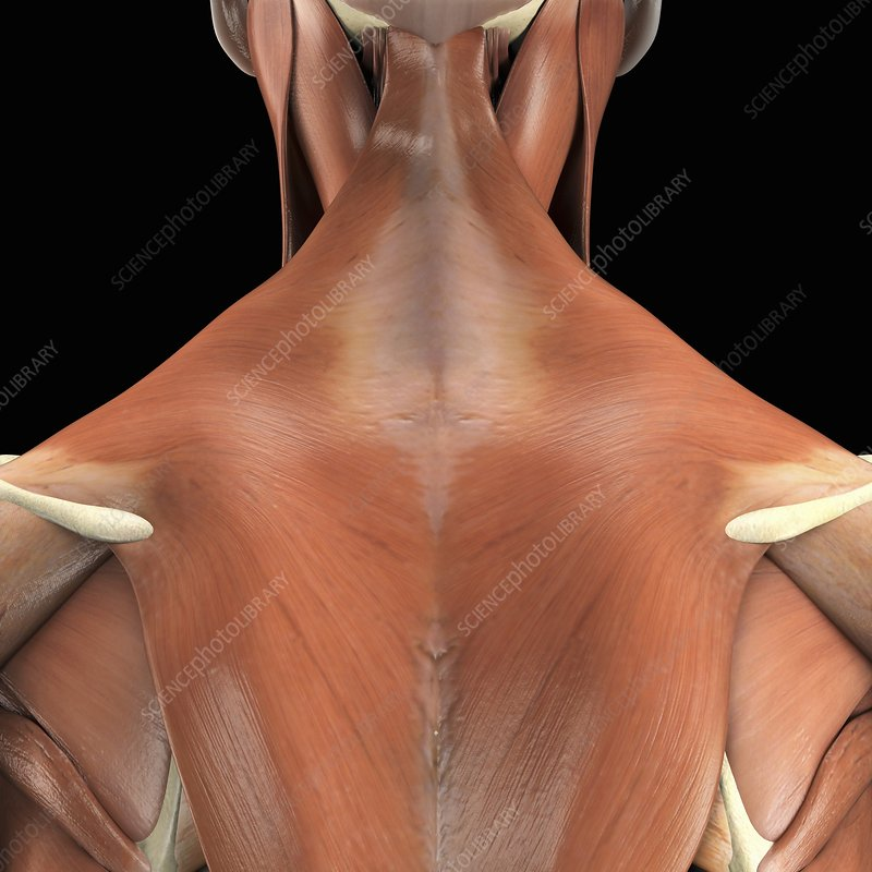 Muscles of the Upper Back, artwork