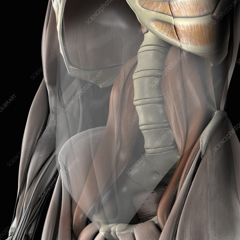 The Psoas Muscles, artwork