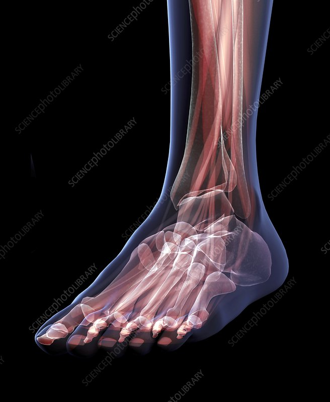 Musculoskeletal Structures of Foot