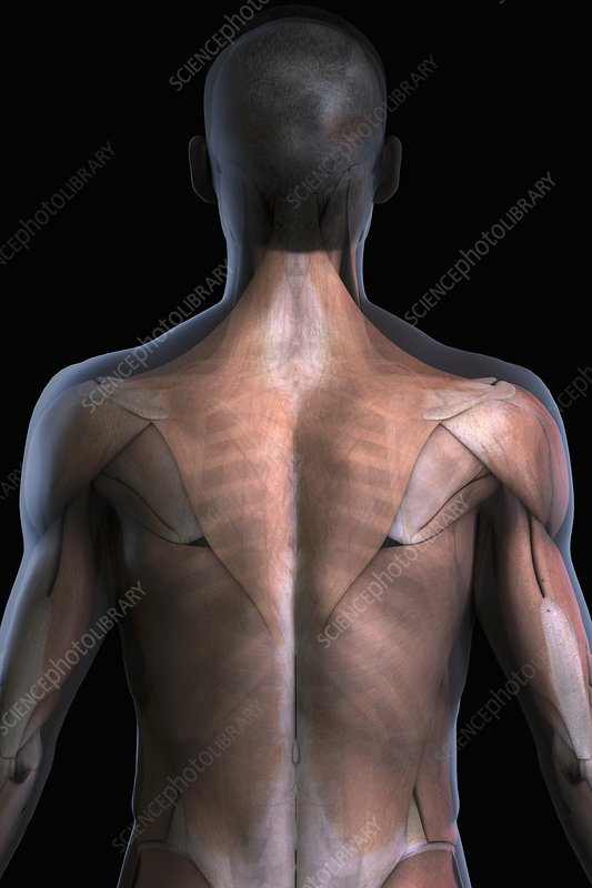 The Muscles of the Back, artwork
