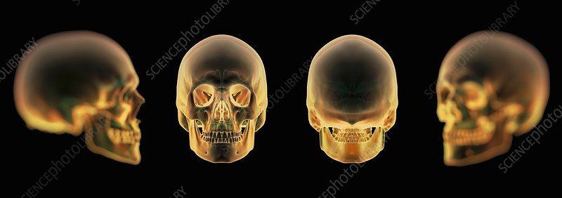 The Human Skull, artwork