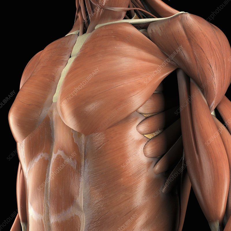 The Muscles of the Chest, artwork