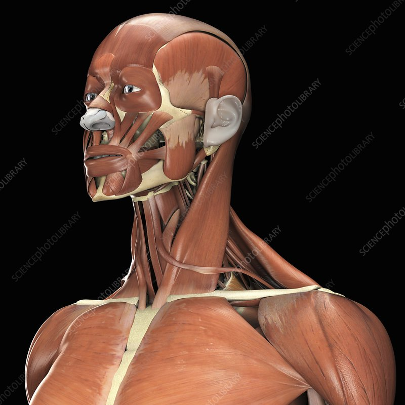 Muscles of Head, Neck and Shoulders - Stock Image C020/2947 ...
