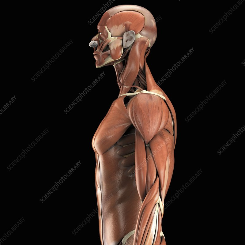 The Muscles of the Upper Body, artwork
