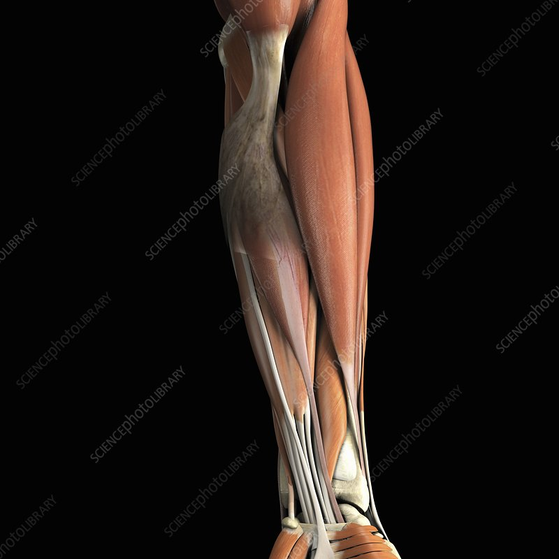 The Muscles of the Lower Arm, artwork