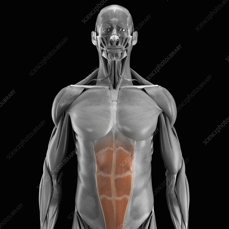 Abdominal Muscles, artwork