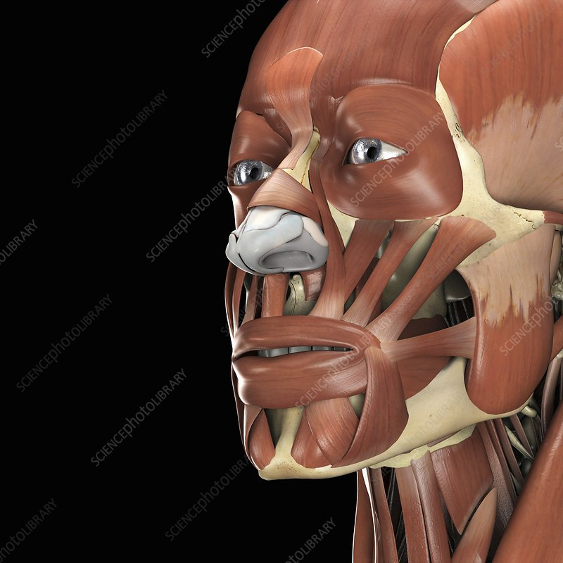 The Muscles of the Face, artwork