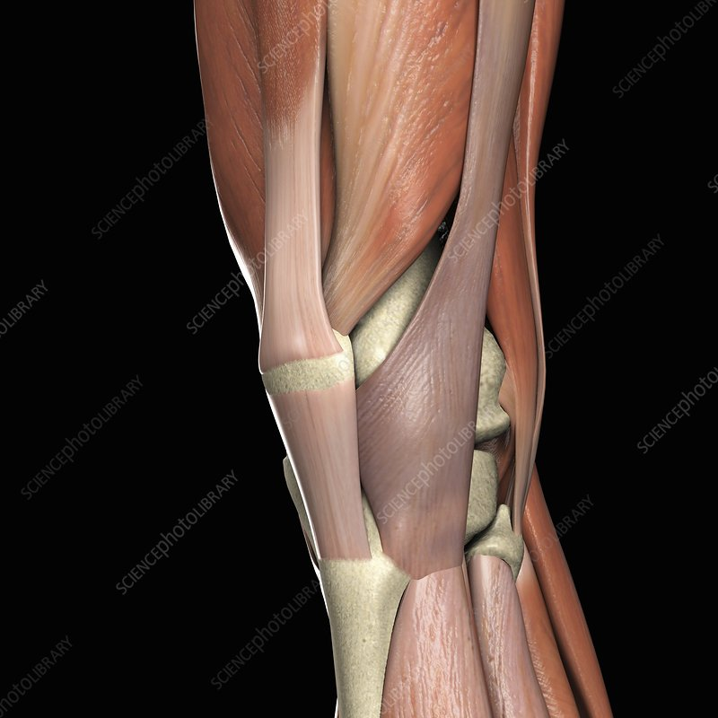 The Muscles of the Knee, artwork