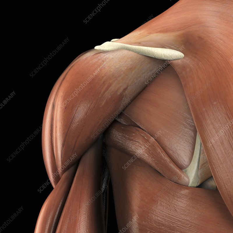 The Muscles of the Shoulder, artwork