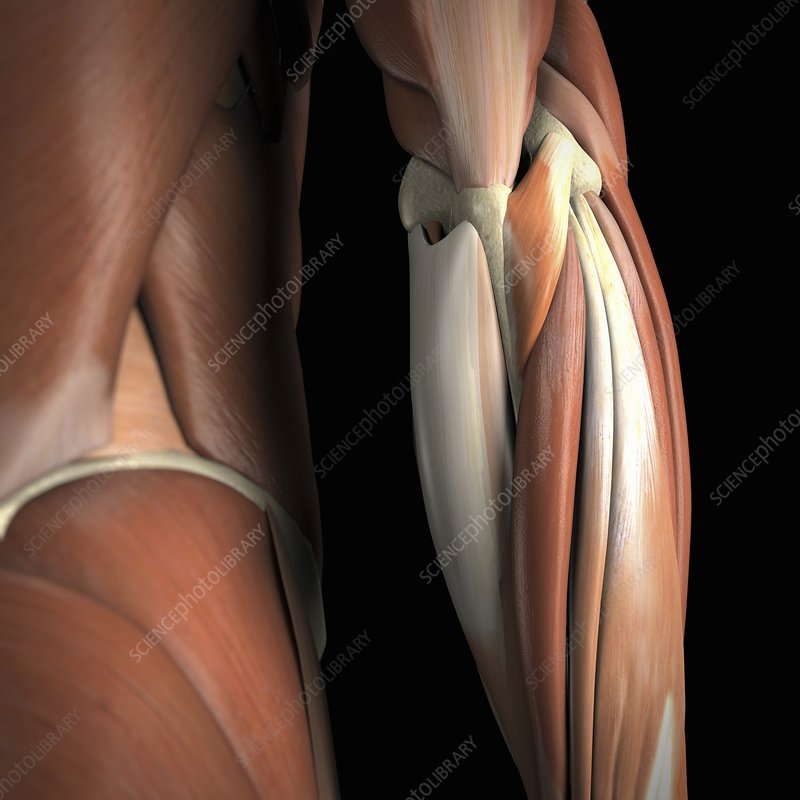 The Muscles of the Elbow, artwork