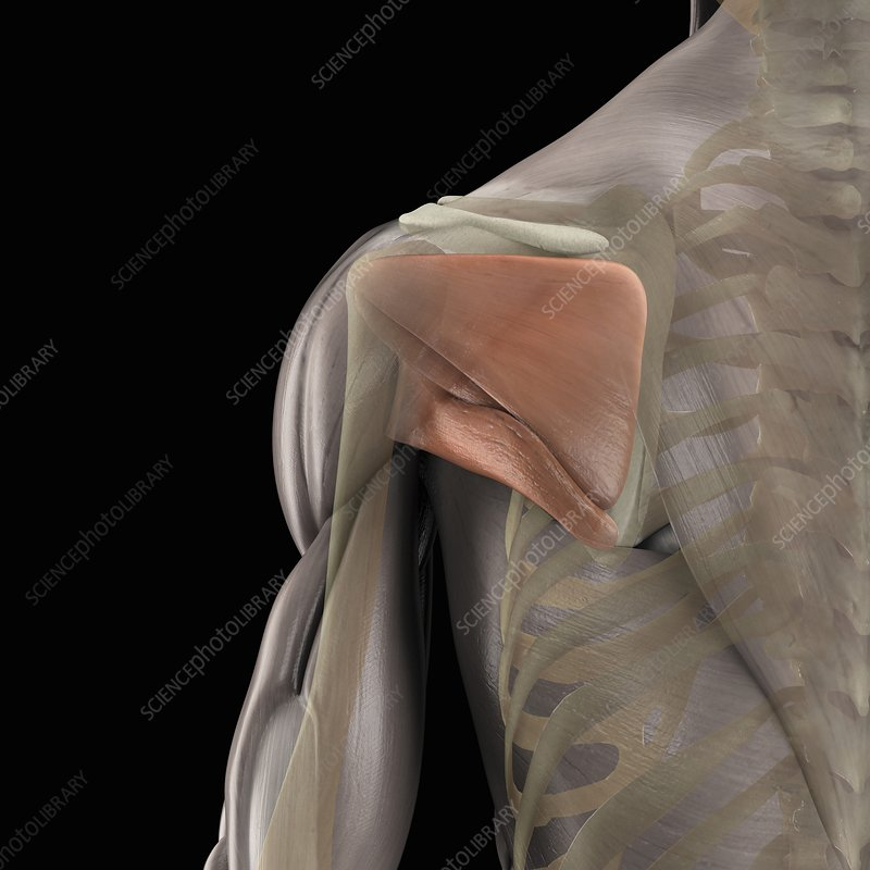 The Muscles of the Scapula, artwork