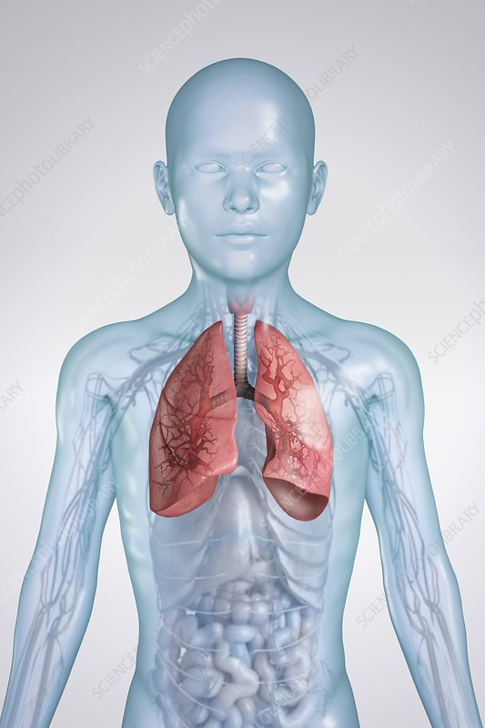 The Respiratory System, artwork