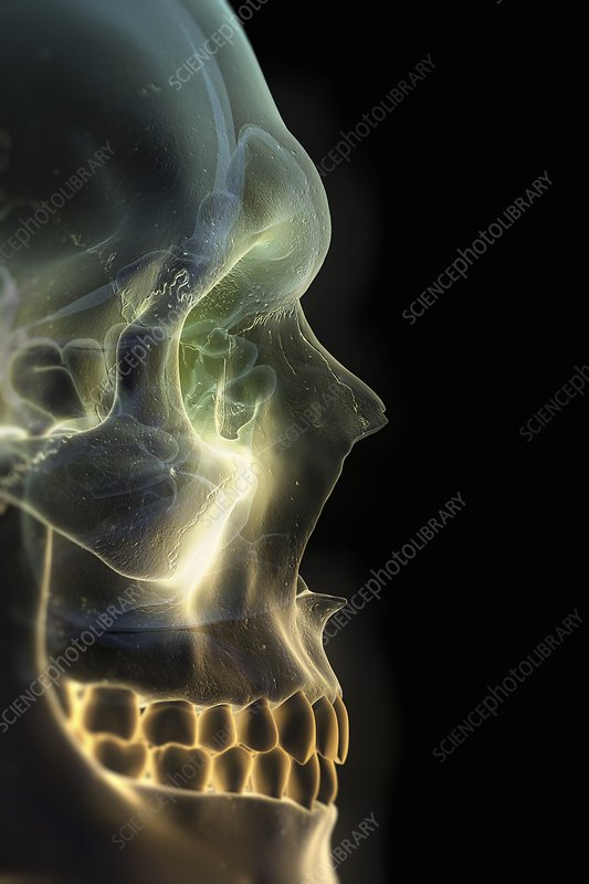The Skull and Paranasal Sinuses, artwork