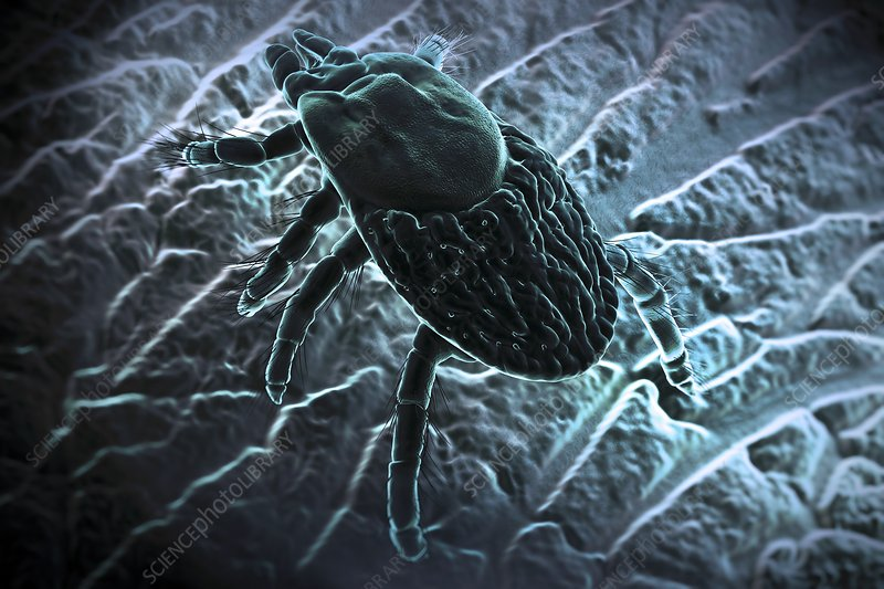 Ixodes Tick, artwork