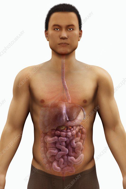 The Digestive System, artwork
