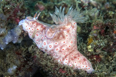 Three-lobed T-Bar nudibranch