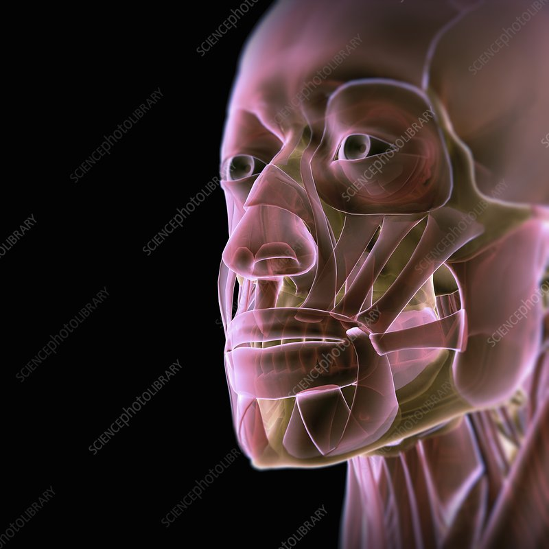 Muscles of the Face, artwork