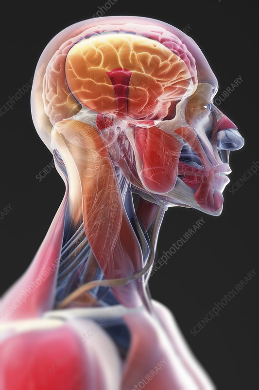Anatomy of the Head and Neck, artwork