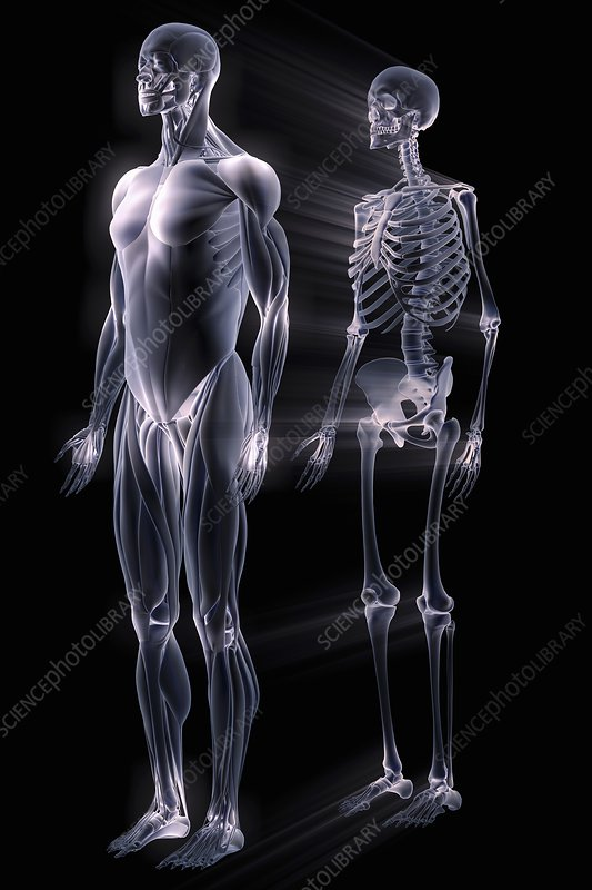 Muscles and Bones, artwork