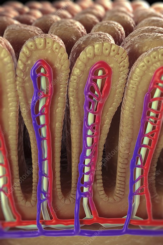 Intestinal Villi, artwork