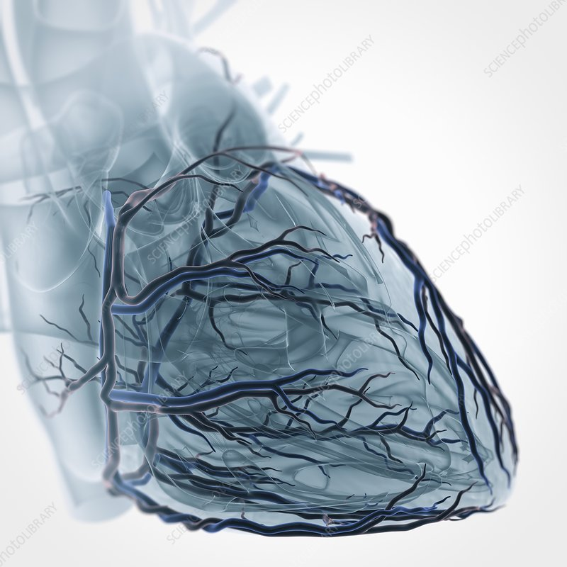 Coronary Blood Supply, artwork