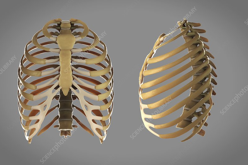 Thoracic cage, artwork